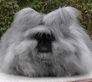The Angora rabbit is a variety of domestic rabbit bred for its long, soft hair. The Angora is one of the oldest types of domestic rabbit, originating in Ankara, Turkey, along with the Angora cat and Angora goat. The rabbits were popular pets with French royalty in the mid 1700s, and spread to other parts of Europe by the end of the century. They first appeared in the United States in the early 1900s. They are bred largely for their long wool, which may be removed by shearing or plucking (gently pulling loose wool).