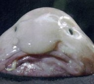 The blobfish (Psychrolutes marcidus) is a fish that inhabits the deep waters off the coasts of Australia and Tasmania. Due to the inaccessibility of its habitat, it is rarely seen by humans.Blobfish are found at depths where the pressure is several dozens of times higher than at sea level, which would likely make gas bladders inefficient. To remain buoyant, the flesh of the blobfish is primarily a gelatinous mass with a density slightly less than water; this allows the fish to float above the sea floor without expending energy on swimming. The relative lack of muscle is not a disadvantage as it primarily swallows edible matter that floats by in front it.